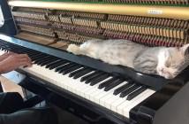 ピアノ好きの猫