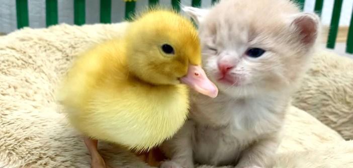 アヒルの子と子猫