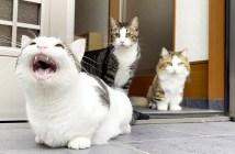 クラッキングする猫