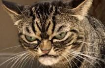 いつも怒っているように見える猫