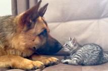 子猫遊びたい犬