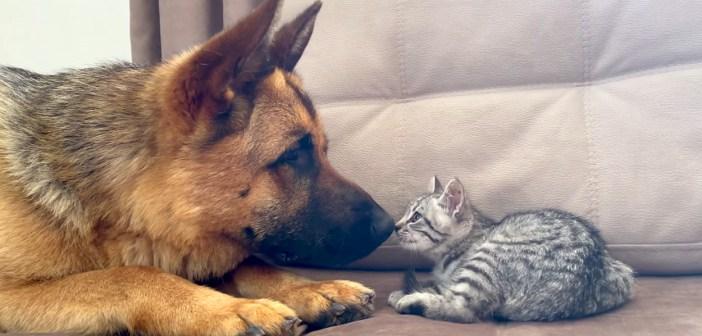 子猫を遊びに誘いたいけど、なかなか勇気が出ないシェパード。子猫にシャーされて、しょんぼりしちゃう様子が可愛い♡