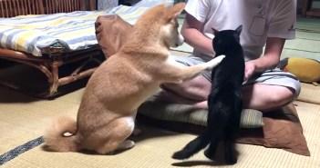 お手する柴犬と猫
