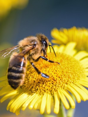 bee, flower, forage