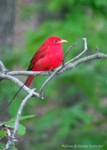 Summer Tanager - Male