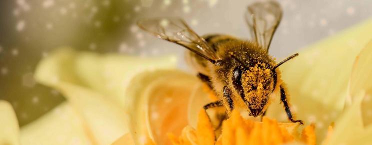 Abeille couverte de pollen
