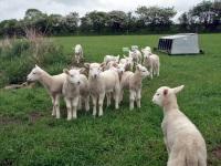 В Швеции у овец появятся необычные защитники — ламы