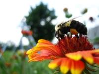 Программа для смартфонов поможет защитить пчел в Англии