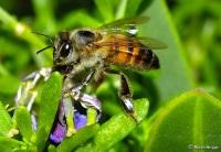 Пчелы дают зеленый свет разработке золотой шахты в Испании