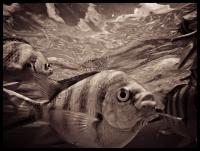6 тысяч зебровидных рыб поселятся в Гентском университете в Бельгии
