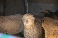 Олимпийские игры по стрижке овец собирают десять тысяч зрителей в Ирландии