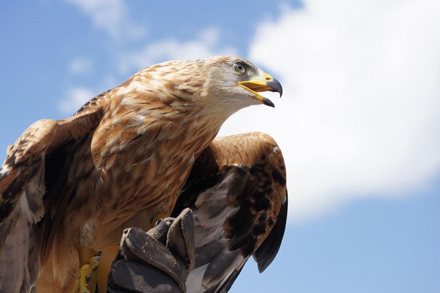Орланы и беркуты вернулись в Данию после почти векового отсутствия