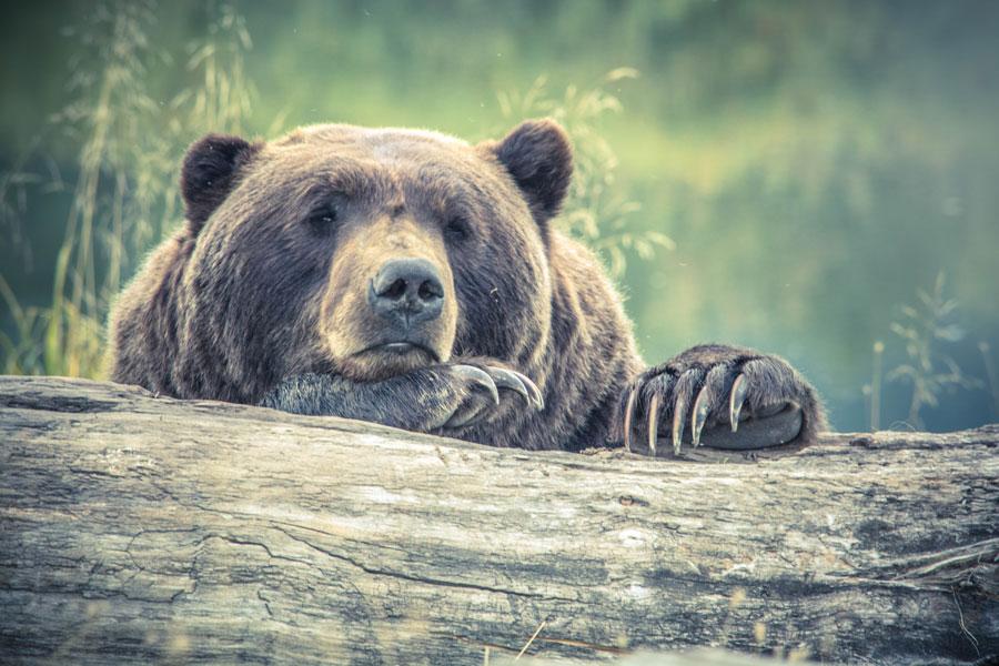 Из румынского замка украден сахар и коробка с шоколадками, виновник — медведь