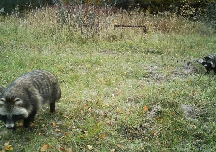 Raccoon dogs.