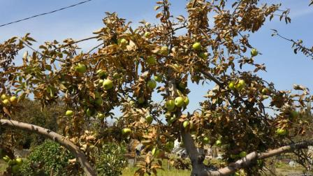 Drying apple tree. Source: Krym-Realii