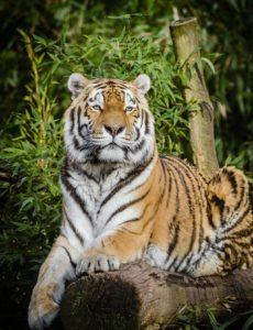 Tiger_Klütz