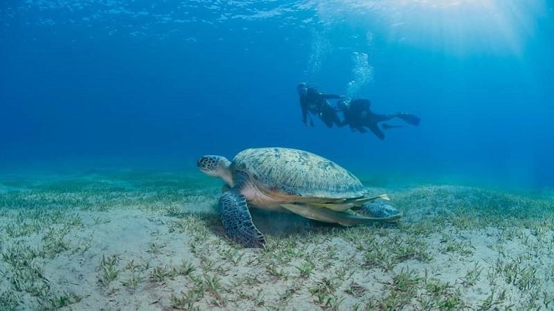 Tortugas marinas verdes en las orillas de Sharm El Sheikh