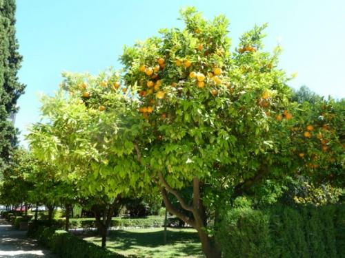 バレンシアと言えばオレンジ。町の至るとこにオレンジの木が植えられています