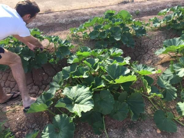 kabocha-planting-7