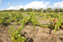 FGN vineyard Madrid