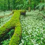 New natural forests for Germany