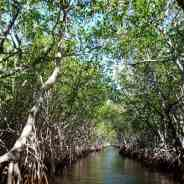 In addition to tropical rainforest – mangroves are the excellent carbon storers