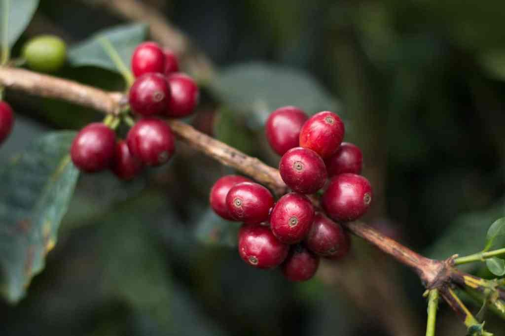 Mondul Coffee Estates 5 - coffee cherry