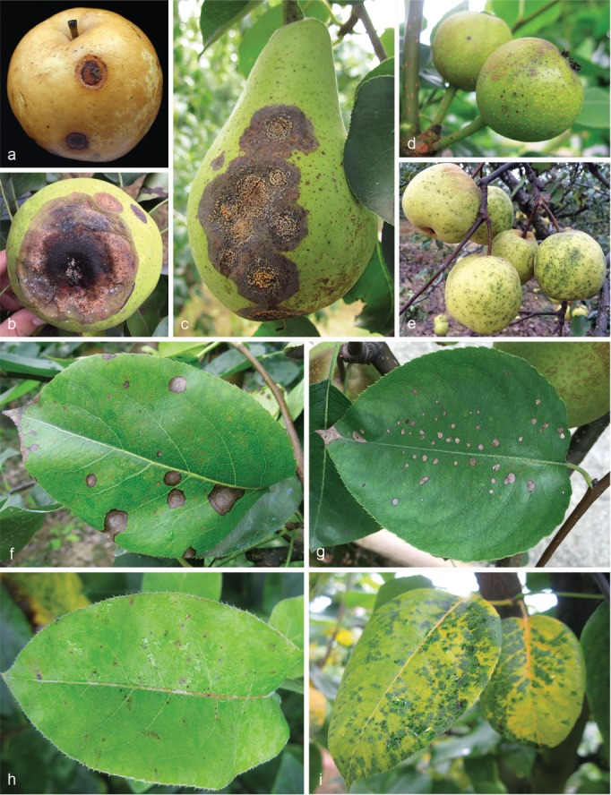 Colletotrichum Species Associated With Anthracnose Of Pyrus Spp