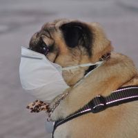 Muzzle for pug. Are you kidding?