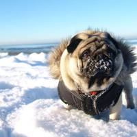 Pug on the winter snow beach
