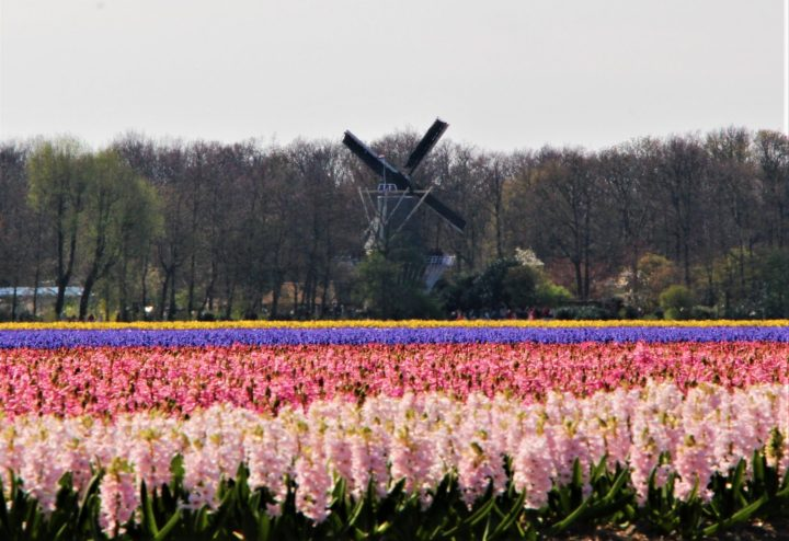 The windmill in Keukenhof is one of the very few to be seen among the hyacinth and tulip fields