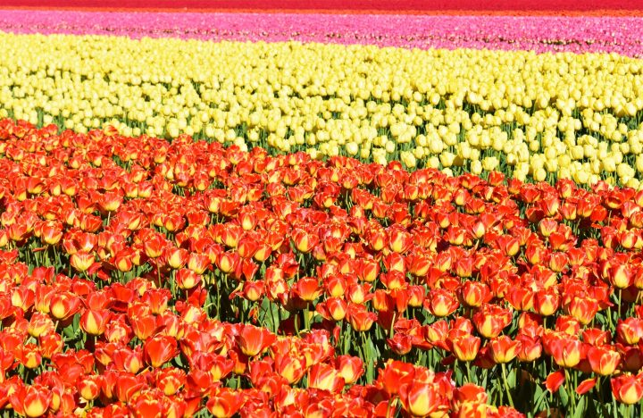 Tulip fields Netherlands - Lisse