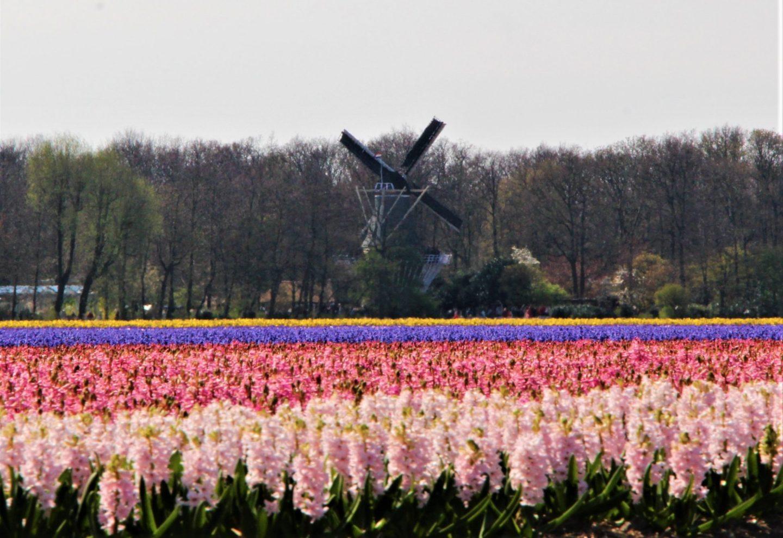 El molino de viento en Keukenhof es uno de los pocos que se pueden ver entre los campos de jacintos y tulipanes.