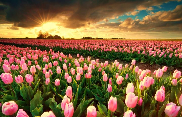 Ruta de los Tulipanes en Bollenstreek