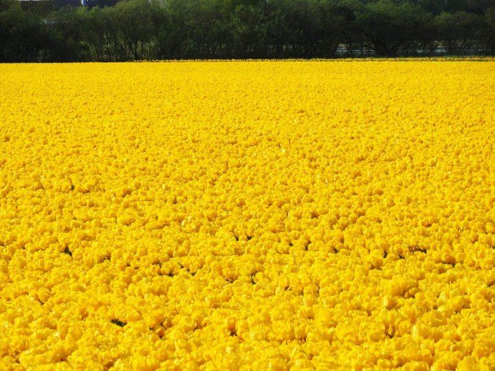 Ruta de los Tulipanes en Flevoland