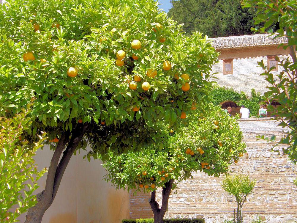 Orange trees in the patio of the Generalife