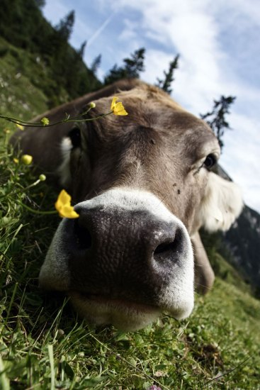 Jedna zalpejskich krów, które pasą się tuż przy szlaku