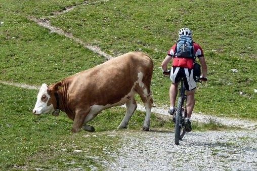 Krowa naszlaku