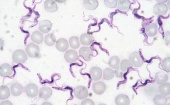 Could human infective 'Trypanosoma evansi' escape sub-Saharan Africa?