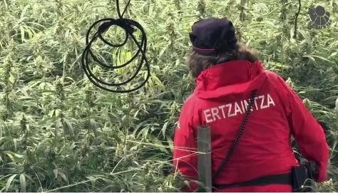 La Ertzaintza localiza 150 plantas de marihuana en Sondika,