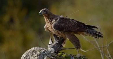 La Diputación Foral se personará como acusación particular para ejercer acciones penales y civiles en la investigación de un disparo a un águila Bonelli,