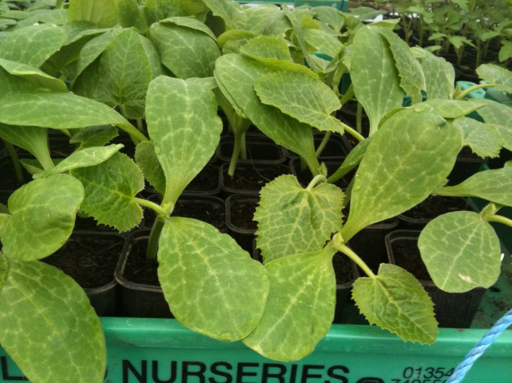 courgettes in need of replanting