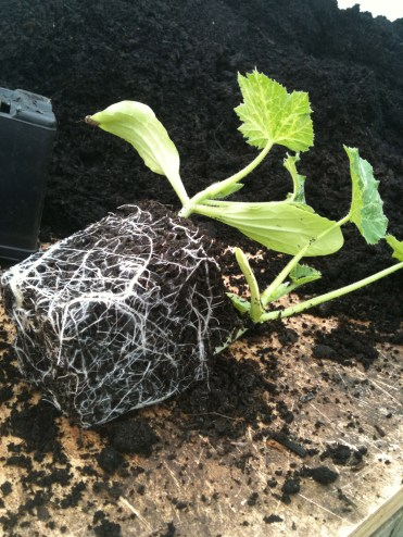 two courgette plants outgrown their pot
