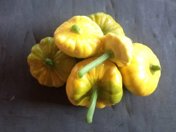 pattypan squashes harvest at SCF
