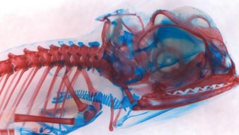 scheletro di camaleonte