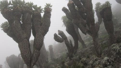 Otherworldly senecio trees