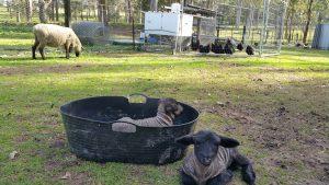 Suffolk Lambs Sydney