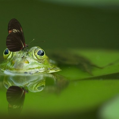 Frog or butterfly?
