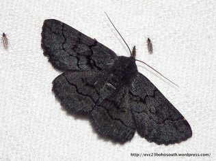 Female Black Geometrid, Melanodes anthracitaria.