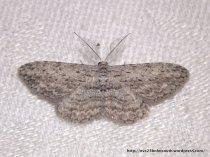 Phelotis cognata Geometridae, Ennominae (ID P. Marriott)